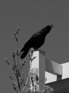 Crow on lamp post. Idaho. BW.