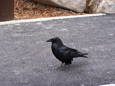 Crow in Yellowstone.