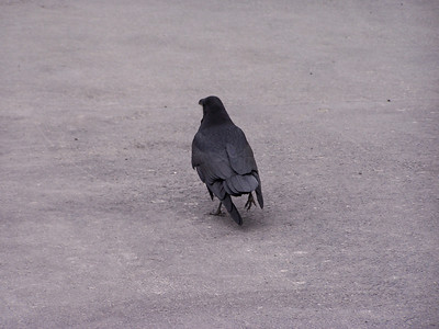 Raven strolling in Yellowstone.