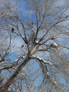 Crow in the bare winter tree. Idaho.