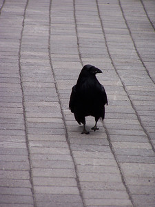 Raven in Yellowstone.