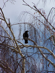 Crow perched in tree outside my office, 5.8.08