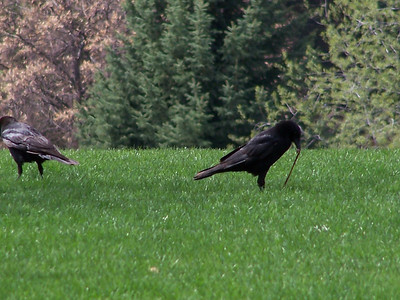 Crow trio, morning grub, 5.8.08