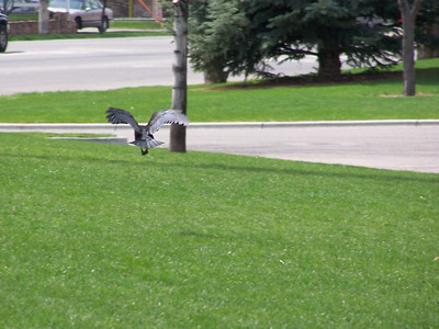 Crow flight, 5.8.08