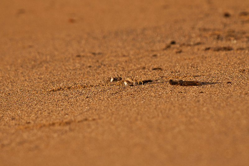 Pallid Ghost Crabs