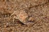 Pallid Ghost Crab