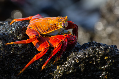 Sally Lightfoot Crab - Isla Santa Cruz, Galapagos, Ecuador