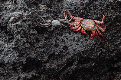 Sally Lightfoot crabs - Galapagos, Ecuador
