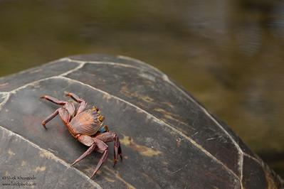 Sally Lightfoot Crab on a turtle - Punta Espinosa, Isla Fernandina, Galapagos, Ecuador