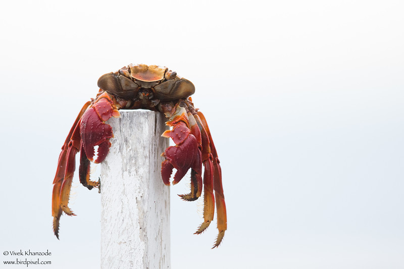 Shell of a Sally Lightfoot crab - Punta Espinosa, Isla Fernandina, Galapagos, Ecuador