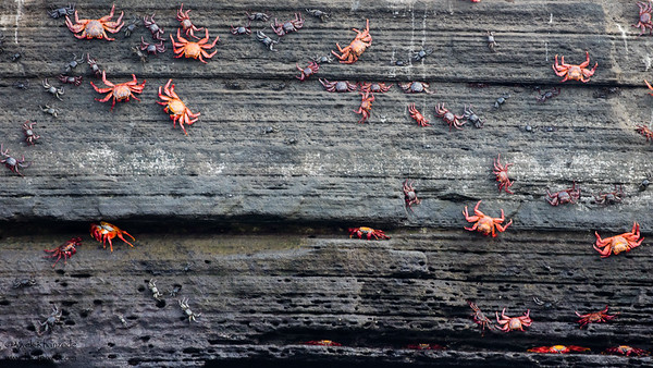 Wall of crabs - Galapagos, Ecuador