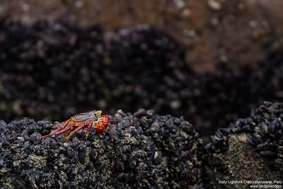 Sally Lightfoot Crab - Pucusana, Peru