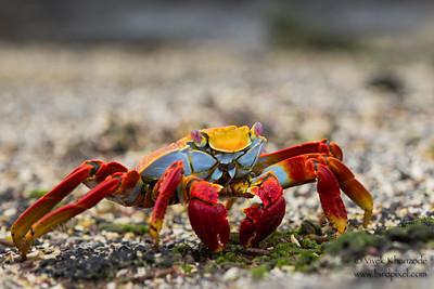 - Punta Albemarle, Isla Isabela, Galapagos, Ecuador