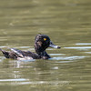 Culler Lake Ring Neck Ducks 15 July 2017 -1290