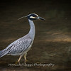 Yellow Crown Night Heron-19 June 2017-9832