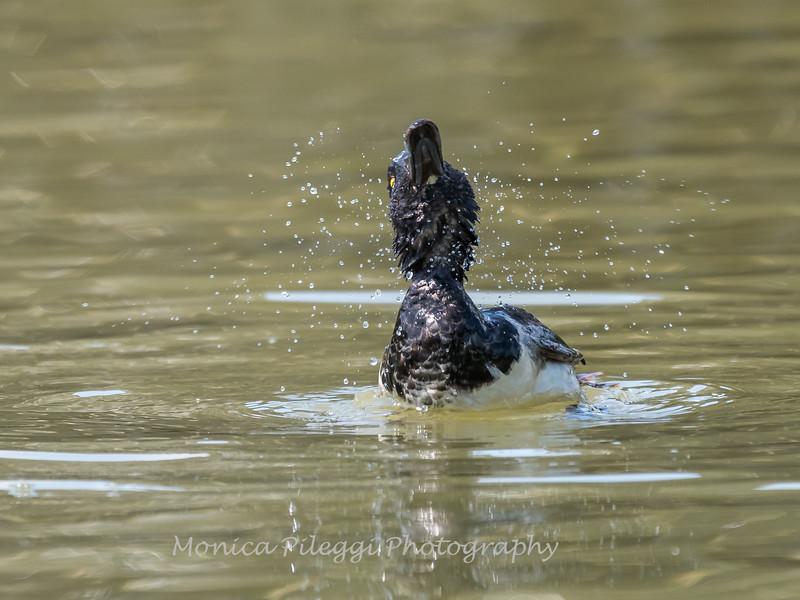 Culler Lake Ring Neck Ducks 15 July 2017 -1288