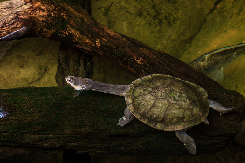 Currumbin, QLD, Australia<br /> Broad Shelled River Turtle (Chelodina Expansa) at Currumbin Sanctuary.