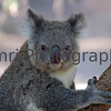 Koala at Perth Zoo