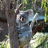 Folded Arms Koala at Perth Zoo