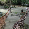 A Pair of Giraffes at Singapore Zoo