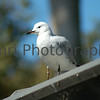 Seagull at Perth Zoo