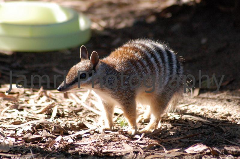 Numbat at Perth Zoo