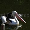 Pelican at Perth Zoo