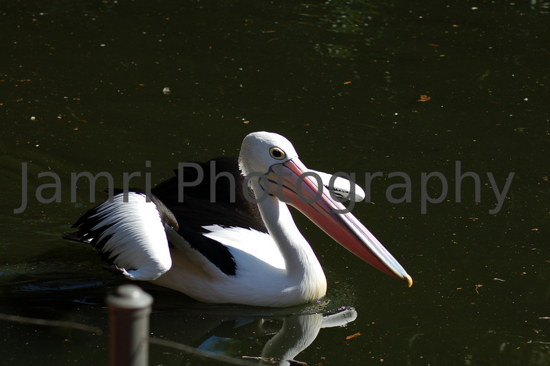 Pelican at Perth Zoo