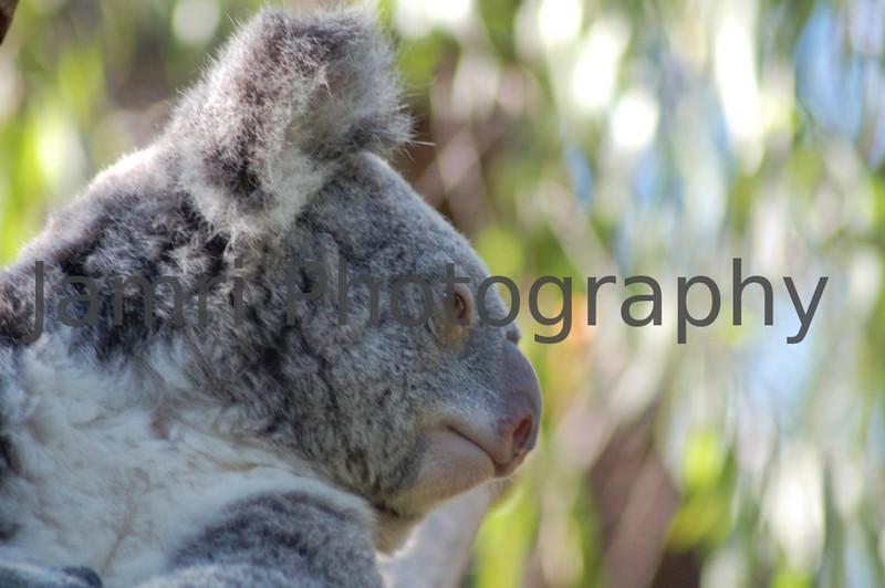 Koala Up Close at Perth Zoo