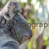 Koala Up Close at Perth Zoo