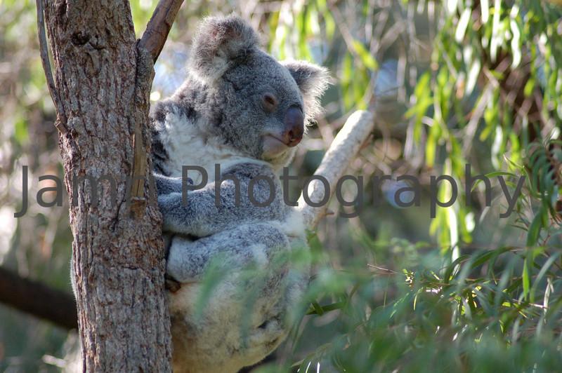 Philosophical Koala at Perth Zoo