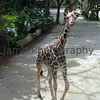 Giraffe at Singapore Zoo