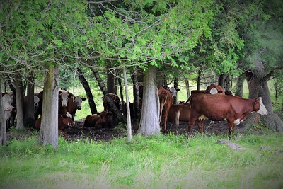 Cows by Tom von Kapherr Photography Cows of Quebec