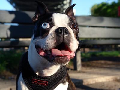 RUFUS 1 year old Boston Terrier. Astoria Park.