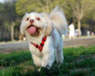 LIZZIE is a 4 years old Lhasa Apso (Tibet) Astoria Park