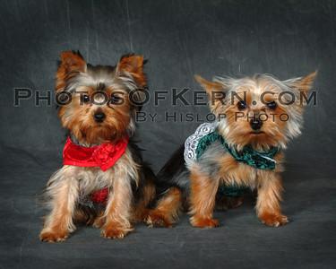 DOGS Yorkshre Terrier Yorkies