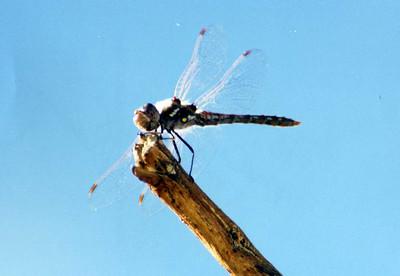 1/5/03 Wandering Glider? (Pantala flavescens). McCallum Trail, Coachella Valley Preserve, Thousand Palms, Riverside County, CA