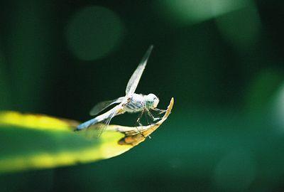 8/2/03 Blue Dasher (Pachydiplax longipennis). Los Angeles County Arboretum, Arcadia, CA