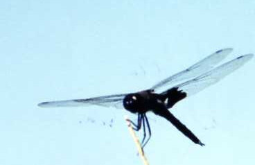 10/6/02 Widow Skimmer (male) (Libellula luctuosa). Davis Road, Imperial County Wildlife Area (Wister Unit), Imperial County, CA
