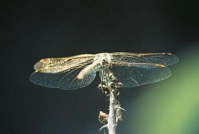November 2003. Wandering Glider (Pantala flavescens). La Puente, Los Angeles County, CA
