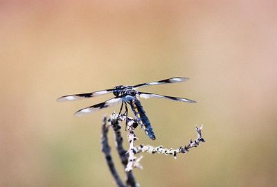 7/4/0 Eight-Spotted Skimmer (Libellula forensis). Dorris Reservoir, Modoc National Wildlife Refuge, Modoc County, CA