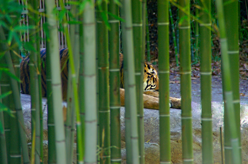 Tiger sahot through Bamboo