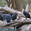 IMG_7347 Cormorants