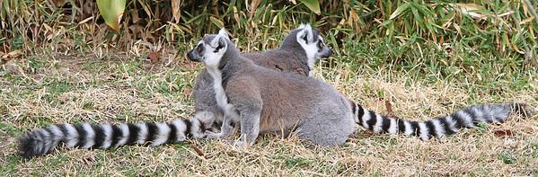 IMG_6374 Ringed Tailed Lemurs