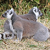 IMG_6374 Ringed Tailed Lemurs