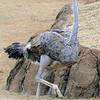 IMG_7000 Ostrich
