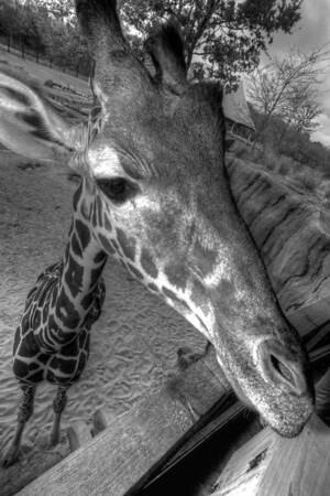 Giraffe 1_tonemapped - Version 2