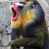 IMG_7483 - Male Mandrill Baboon