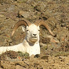 Dall's Sheep and Caribou :