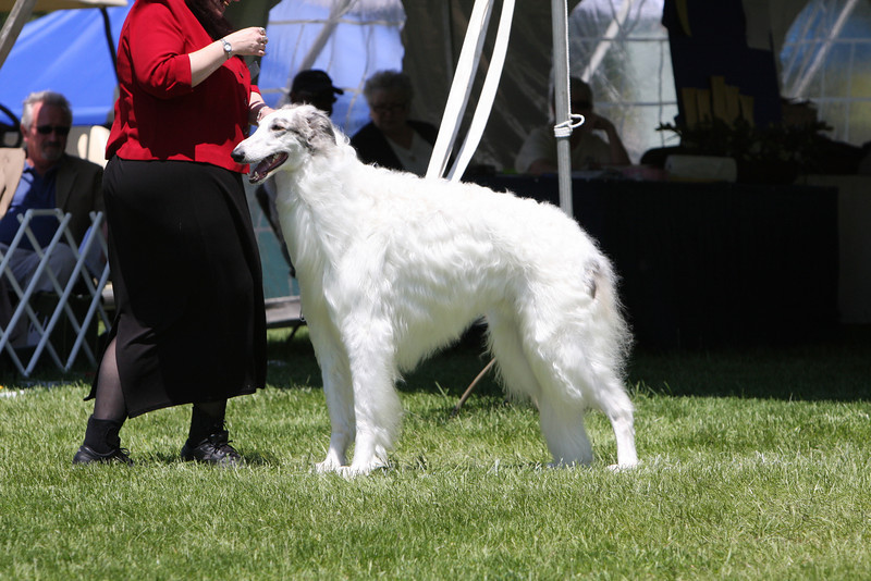 Dana Dan Silversmoke 5/19/07<br /> Bred By Dogs<br /> BCOA National 2009